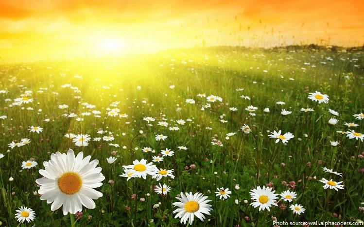 daisies-2