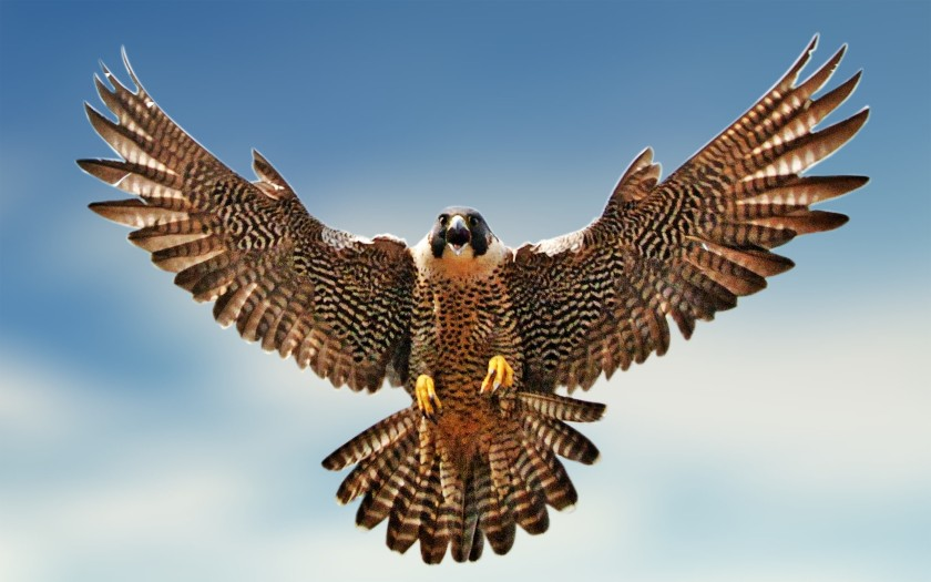 falcon-clipart-wallpaper-3