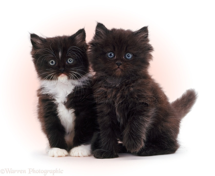 Black-and-white and chocolate cute fluffy kittens