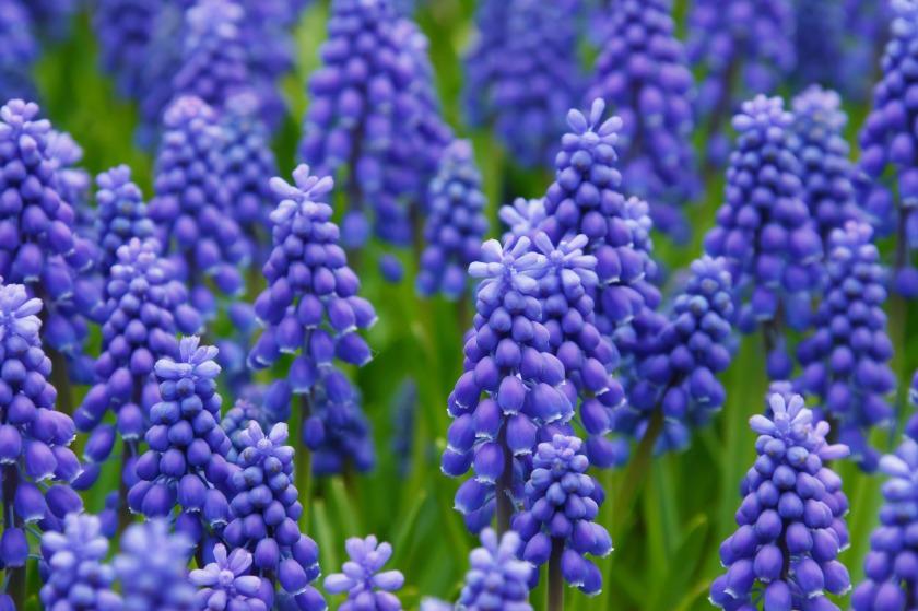 hyacinth-muscari-grape-hyacinth-flowers-87612