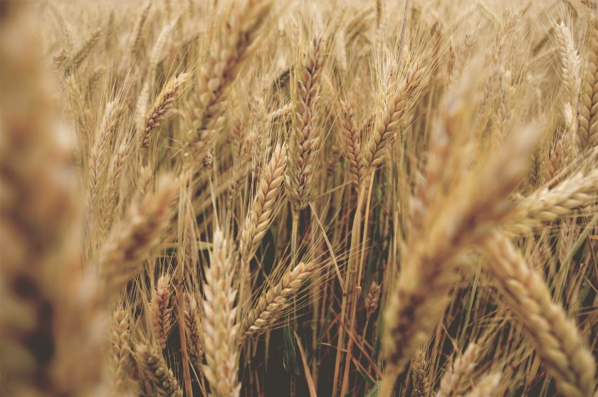 agriculture-cereal-close-up-540925