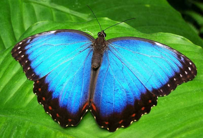 Blue-Morpho-Butterfly-Open-Wings