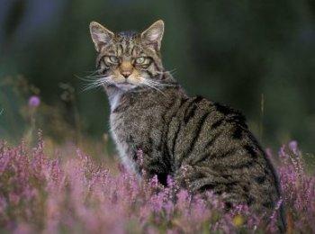 Wild Cat Scotland 02