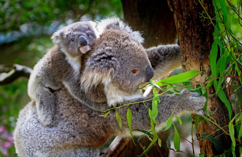 animals-cute-koala-bear-85678