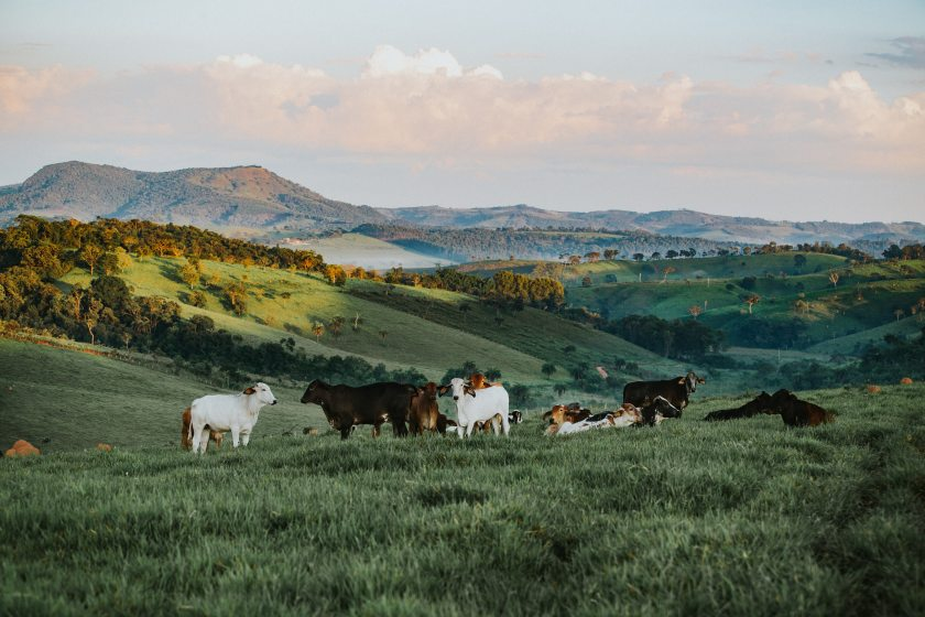 agriculture-bull-cattle-841303