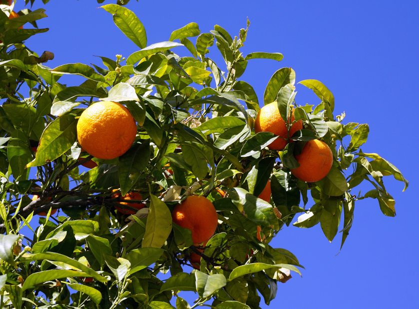 branches-citrus-fruits-daylight-221105