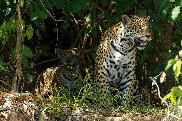Jaguar mother and cub on the bank of the Cuiaba River in Brazil