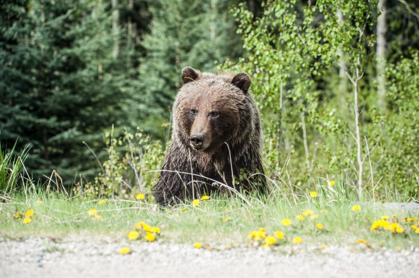 animal-bear-field-1328414