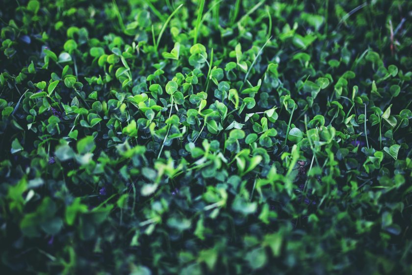 clover-green-nature-5762