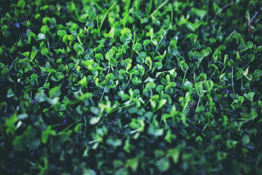 clover-green-nature-5762