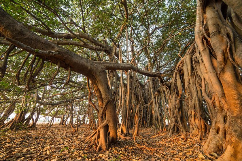 fig_banyan_tree