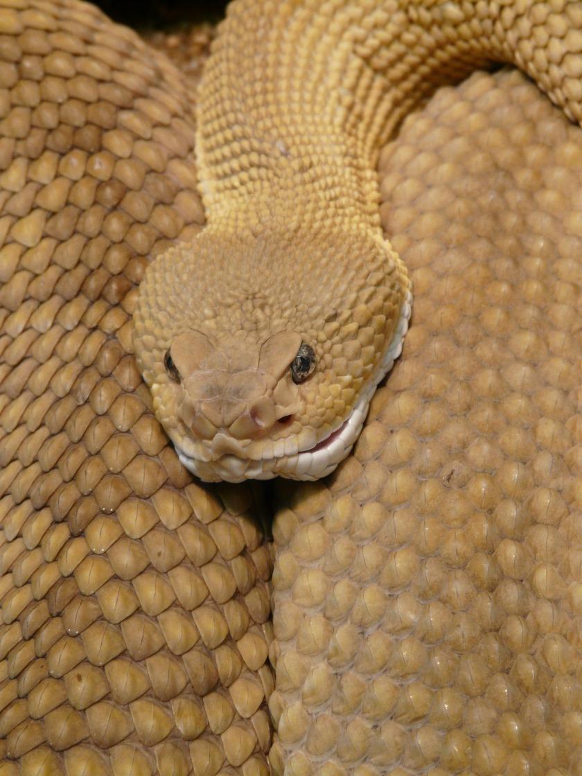 basilisk-rattlesnake-7308_1920