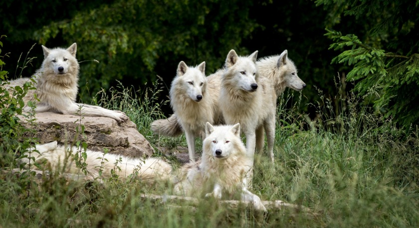 wolves-3785362_1920