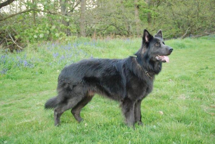 Blue-German-Shepherd