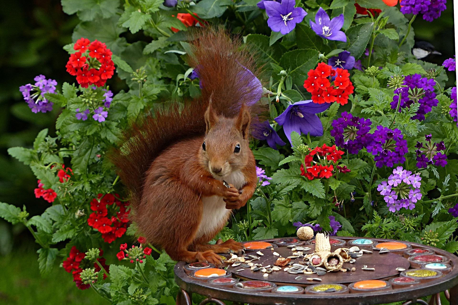 squirrel-1517881_1920
