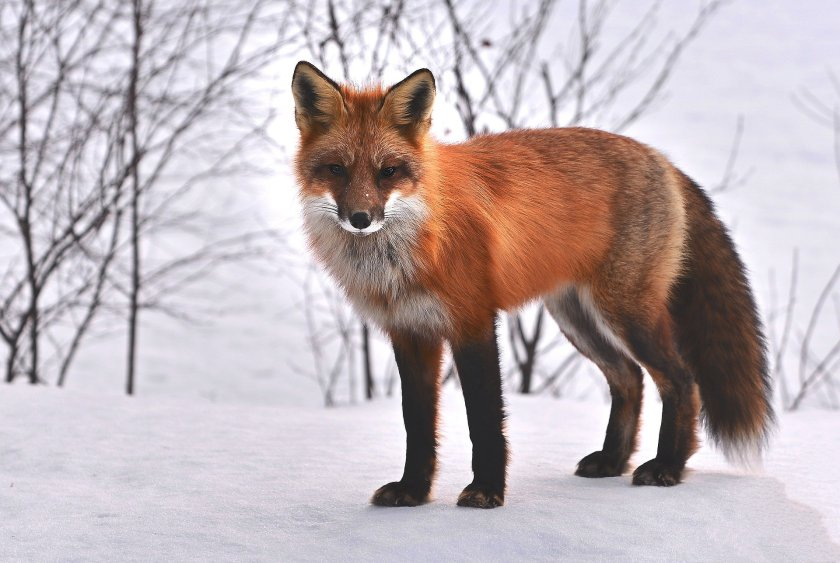 fox-715588_1920