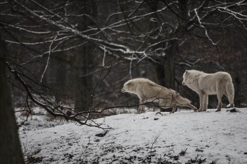 polarwolf-4686719_1920