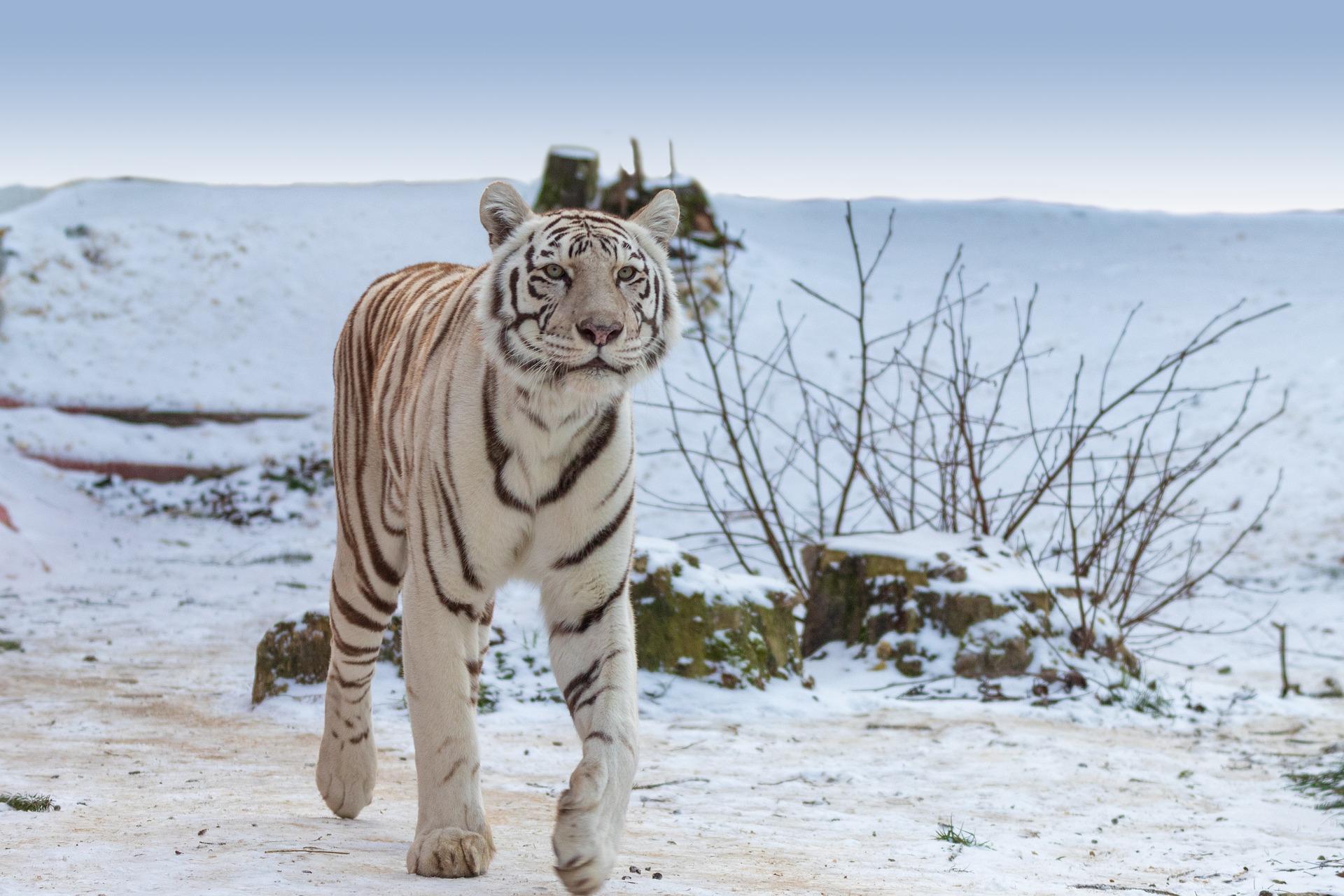 tiger-3918450_1920