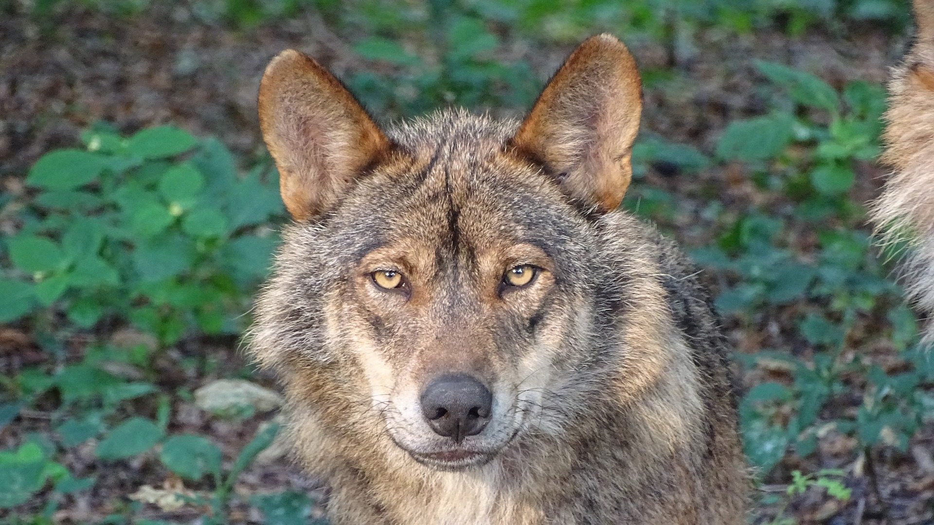 wolf-2705883_1920