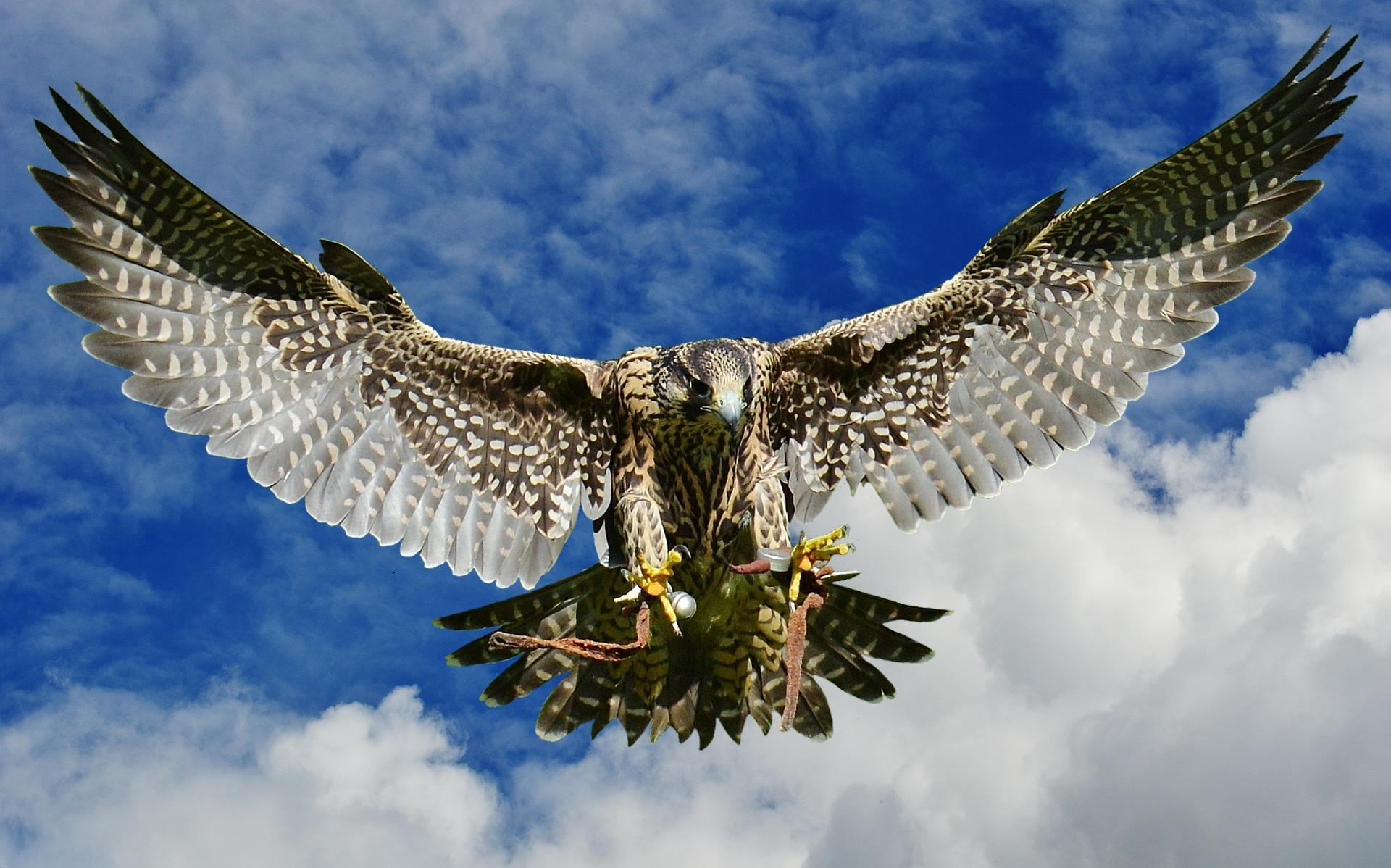 falcon-2681935_1920