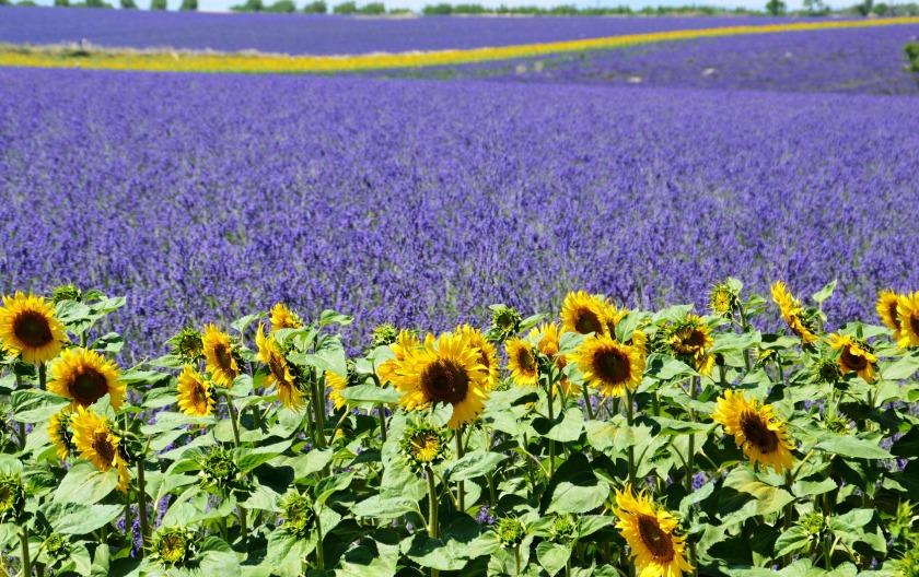 lavender-field-1899575_1920